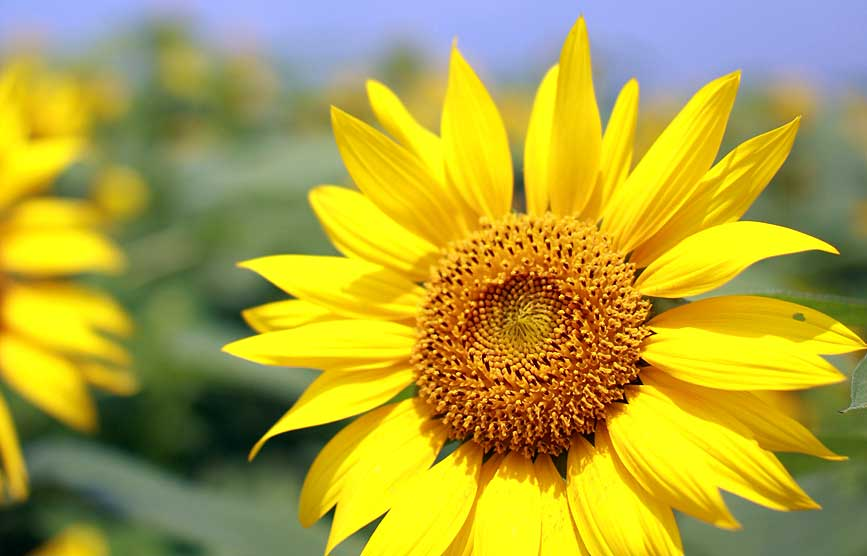 sunflower_c