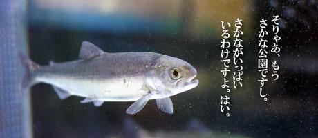 sakana_catch